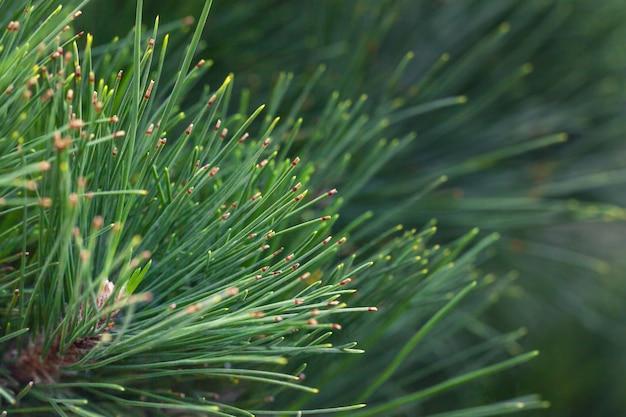 Pin vert naturel. branche épinette se bouchent. toile de fond de noël