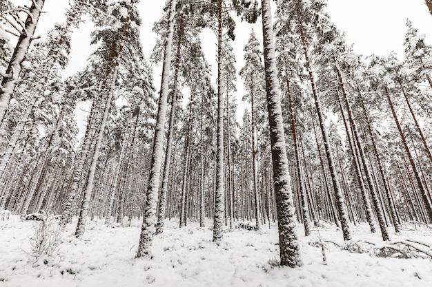 Pinède scandinave couverte de neige avec sol forestier enneigé et tiges de pin, pinus sylvestris.
