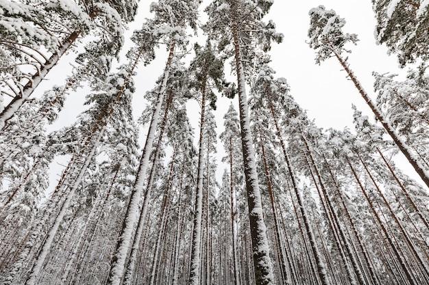 Pinède scandinave couverte de neige avec des tiges de pin, pinus sylvestris.