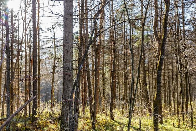 Pinery, pinède, pin, forêt de féerie