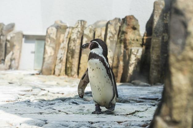 Pingouin africain mignon marchant sur une plage de galets profitant du concept de soleil d'été chaud de la vie animale