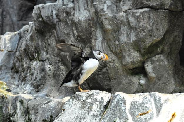 Pingouin de l'atlantique pingouin oiseau de mer sur les falaises