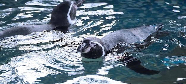 Pingouin nageant dans la couleur de l'eau bleue et ils s'amusent et jouent avec les éclaboussures marines liquides et ils plongent sous l'eau à une vitesse très rapide, puis remontent à la surface.