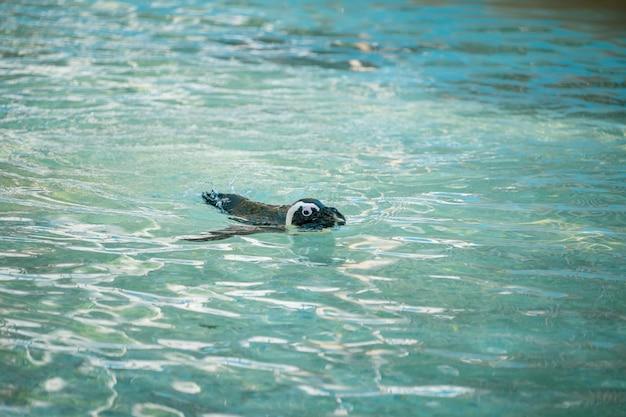 Pingouin nageur. manchot africain ( spheniscus demersus) également connu sous le nom de manchot jackass et manchot à pieds noirs.