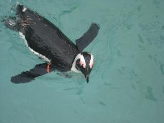 Pingouin, noir