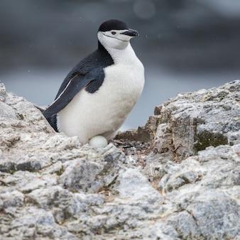 Pingouin et oeuf