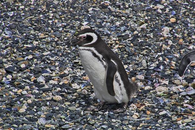 Pingouins sur l'île de beagle channel près de la ville d'ushuaia, terre de feu, argentine
