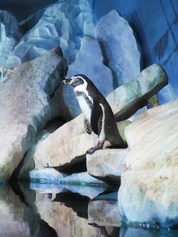 Des pingouins sur un rocher, des pingouins au zoo, à l'intérieur, derrière une vitre.