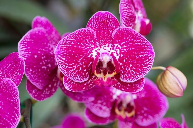 Pink phalaenopsis orchid flower