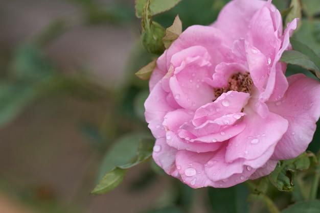 Pink rose est en pleine floraison dans les gouttes de rosée du matin. dans un