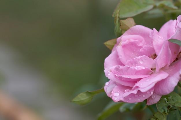 Pink rose est en pleine floraison le matin