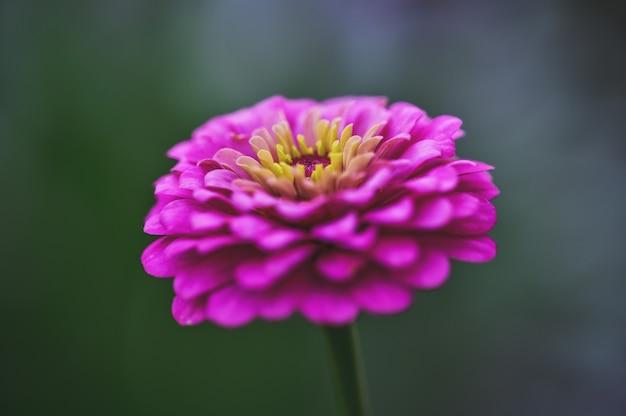 Pink zinnia dans sa période de floraison.