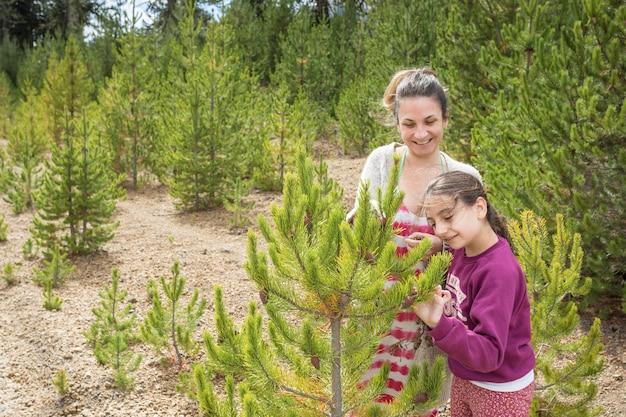 Pinos exotiques creciendo entre pehuenes, villa pehuenia.