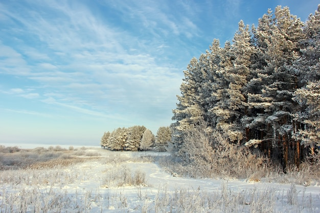 Les pins couverts de givre sur le ciel bleu. paysage d'hiver. hiver, gel, nature.