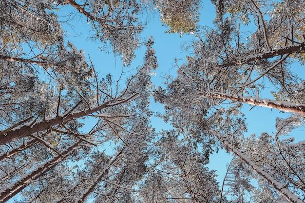 Pins couverts de neige contre le ciel bleu.