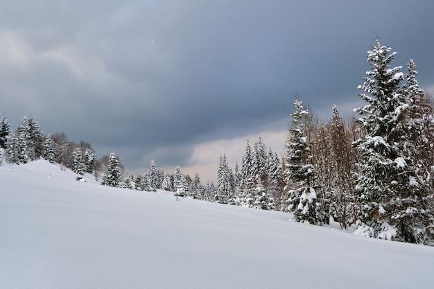 Pins couverts de neige fraîche tombée dans la forêt de montagne d'hiver en soirée froide et sombre.
