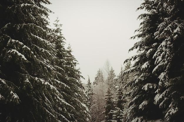 Pins couverts de neige