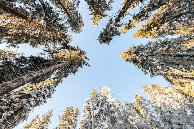 Pins dans la forêt de montagne en journée ensoleillée d'hiver