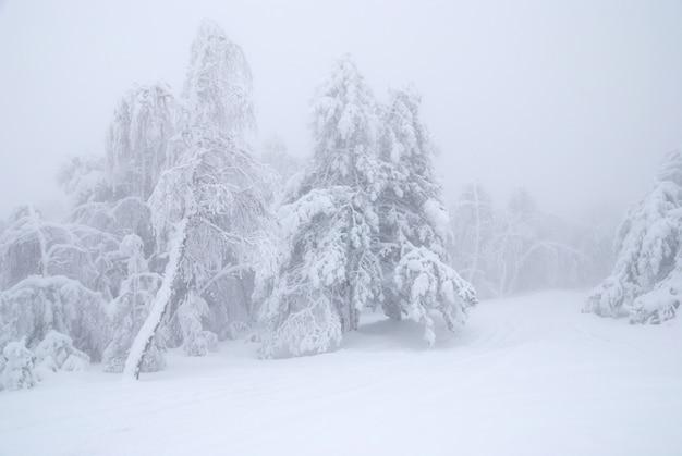 Pins dans la neige d'hiver au brouillard