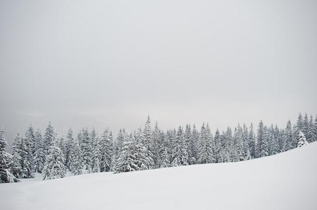 Pins recouverts de neige sur la montagne chomiak, beaux paysages hivernaux des carpates, ukraine, nature de givre,