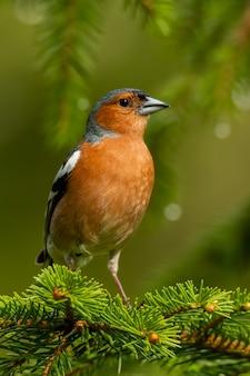Pinson commun assis sur une branche de pin