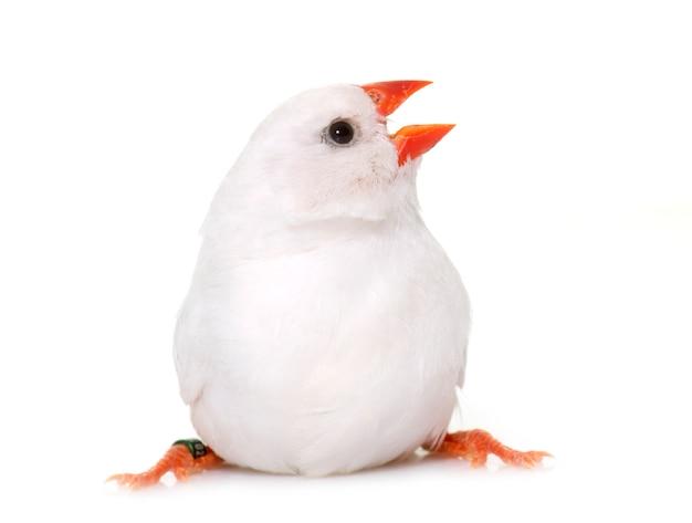 Pinson de zèbre blanc isolé