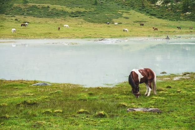 Pinto broute dans le pré près de la rivière dans la vallée de montagne. cheval piebald sur prairie près du lac de montagne. troupeau sur la rive opposée de la rivière. beaucoup de chevaux sur la rive lointaine du lac. beau paysage avec des chevaux.