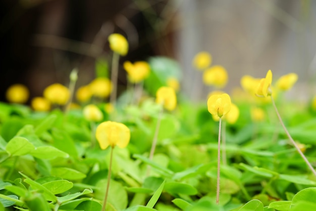 Pinto peanut plant petite fleur jaune