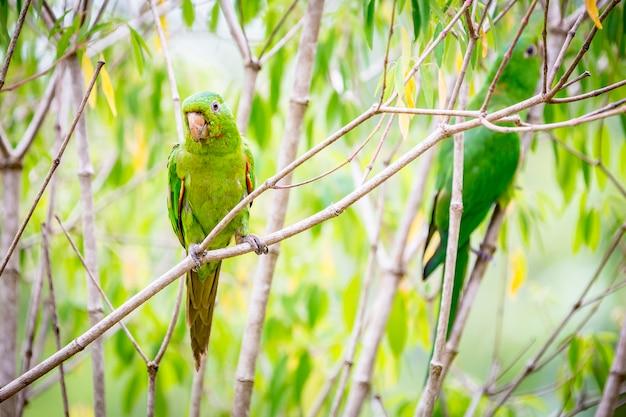 Pionus maximiliani, alias maritaca. un oiseau très commun dans la campagne brésilienne