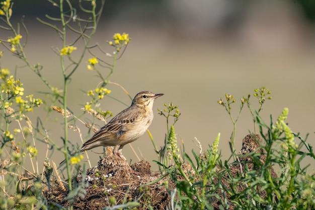 Pipit fauve, anthus campestris, seul oiseau à l'état sauvage.