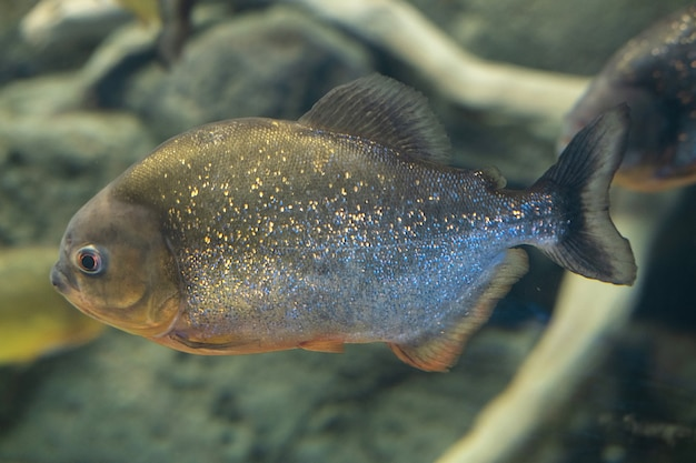 Piranha se bouchent dans l'aquarium pygocentrus nattereri