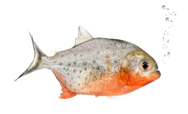 Piranha, serrasalmus nattereri, sur blanc isolé