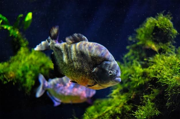 Piranha à ventre rouge piranha rouge