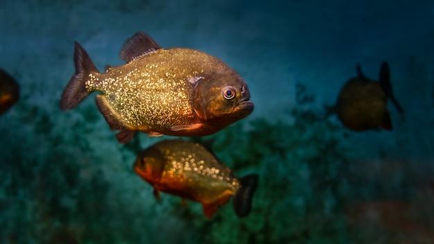 Des piranhas de rivière nageant de manière menaçante dans une rivière sombre.