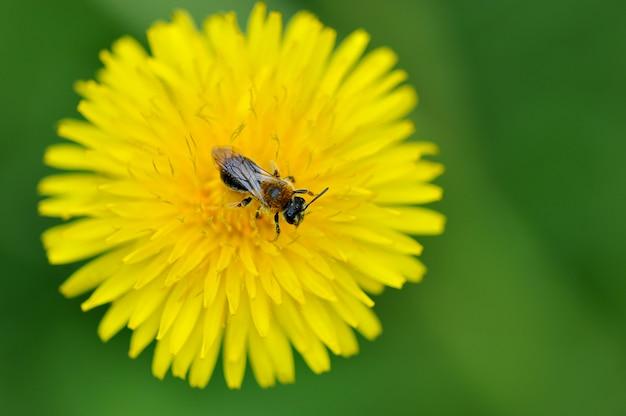 Le pissenlit et l'abeille