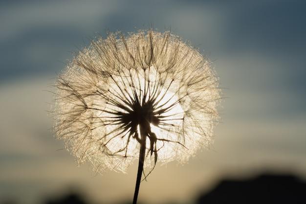 Pissenlit au coucher du soleil. liberté de souhaiter. fleur duveteuse silhouette pissenlit sur ciel coucher de soleil