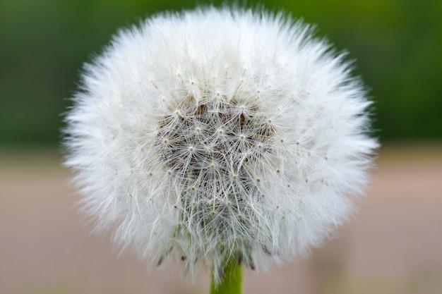 Pissenlit blanc sur le fond d'un champ
