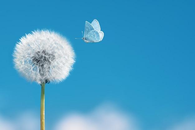 Pissenlit blanc avec papillon volant sur fond de ciel bleu. concept d'assouplissement de la légèreté et de la propreté.