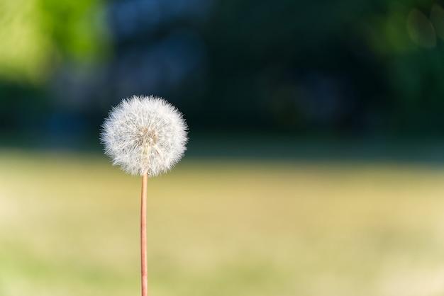 Pissenlit blanc solitaire comme symbole de renaissance ou le début d'une nouvelle vie. concept d'écologie.