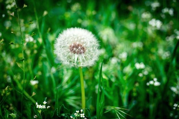 Pissenlit dans l'herbe verte. pissenlit duveteux blanc poussant dans le domaine