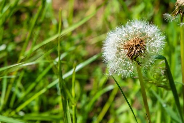 Pissenlit dans un jardin avec une surface floue