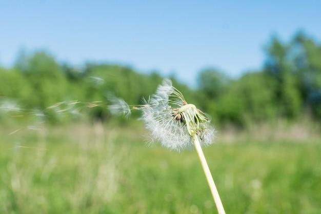 Pissenlit dans le vent