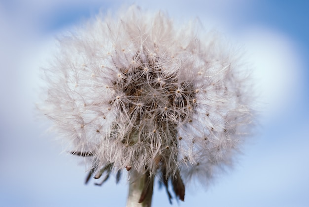 Le pissenlit fleurit au printemps.