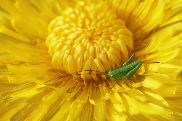Pissenlit en fleurs avec une sauterelle