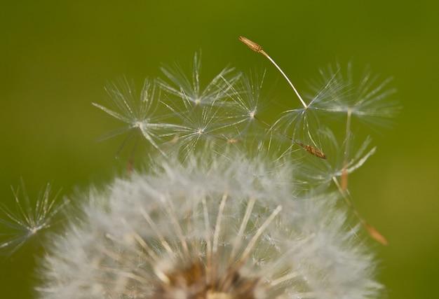 Pissenlit (focus dans la graine) un fond sur vert
