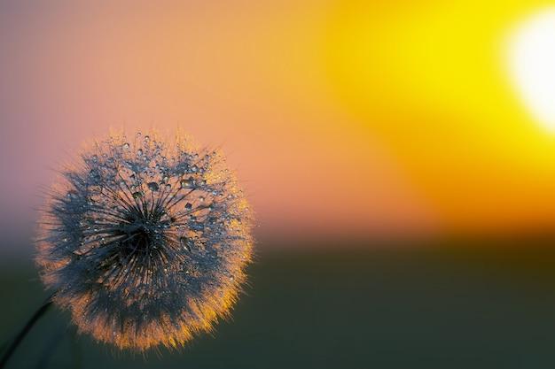 Pissenlit sur fond de soleil couchant. nature et botanique florale
