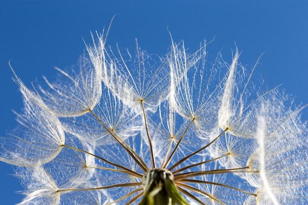Pissenlit avec des graines dans le ciel bleu