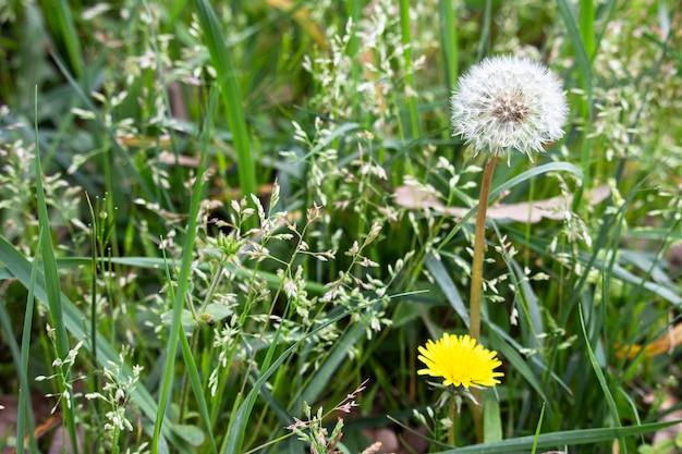 Pissenlit jaune et blanc sur le terrain, fleurs d'été dans le parc, cycle de vie du pissenlit, juin