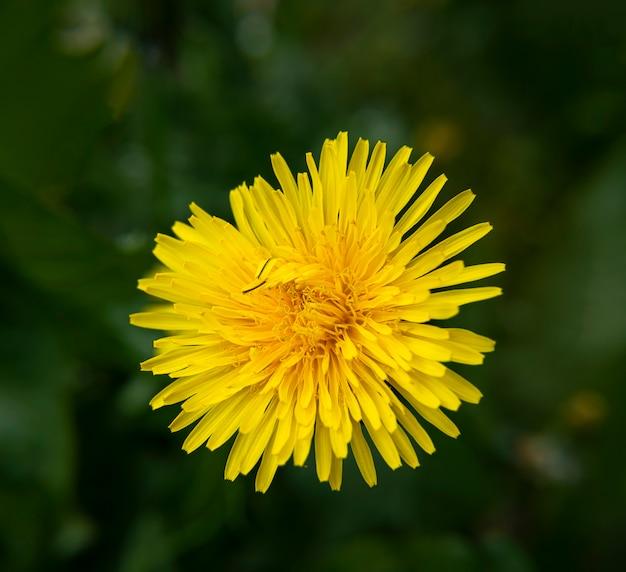 Pissenlit jaune en fleurs dans le parc se bouchent