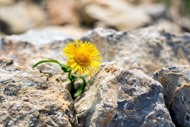 Pissenlit jaune solitaire poussant dans de petites roches